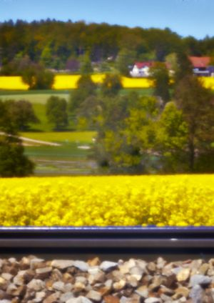 9768 Rapsfeld hinter dem Gleis im Furttal