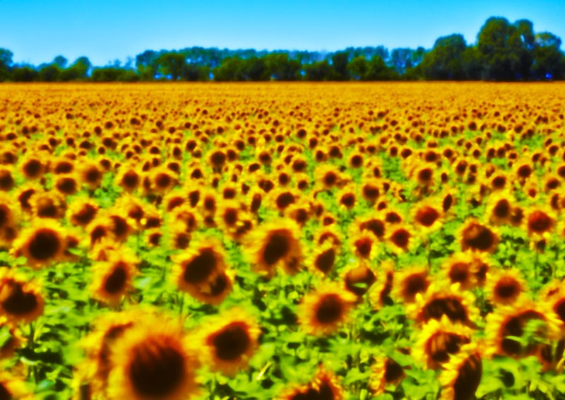 0429 Fleures de soleil